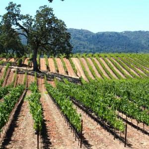 Wijnvelden Californië